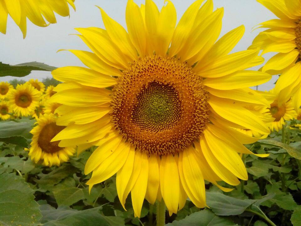 只要向日葵坚持仰望 就会找到属于自己的暖阳